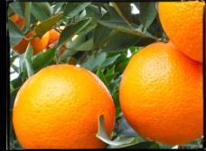 ¿Cuándo se recolecta la fruta?