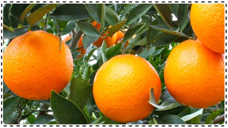 frisch unbehandelte ziegelwand - unbehandelte orangen kaufen frisch nach hause